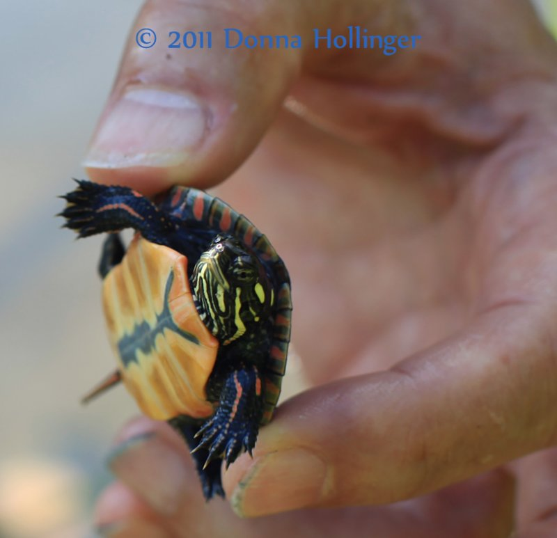 Baby Painted Turtle in Peters Fingers