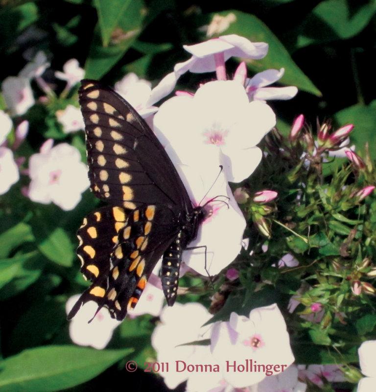 Papilio in Phlox