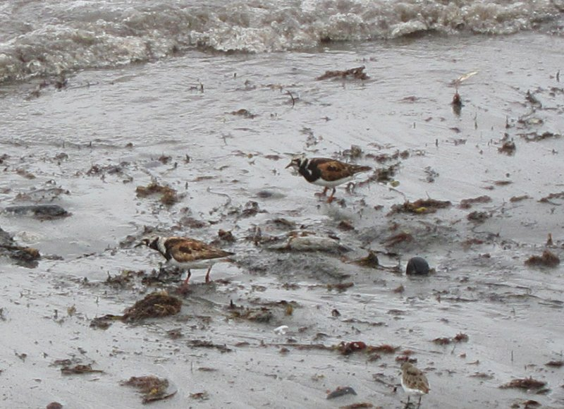 Ruddy Turnstone looking for bits and pieces