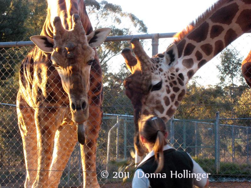 2 Giraffes and Keeper  at the Safari Park