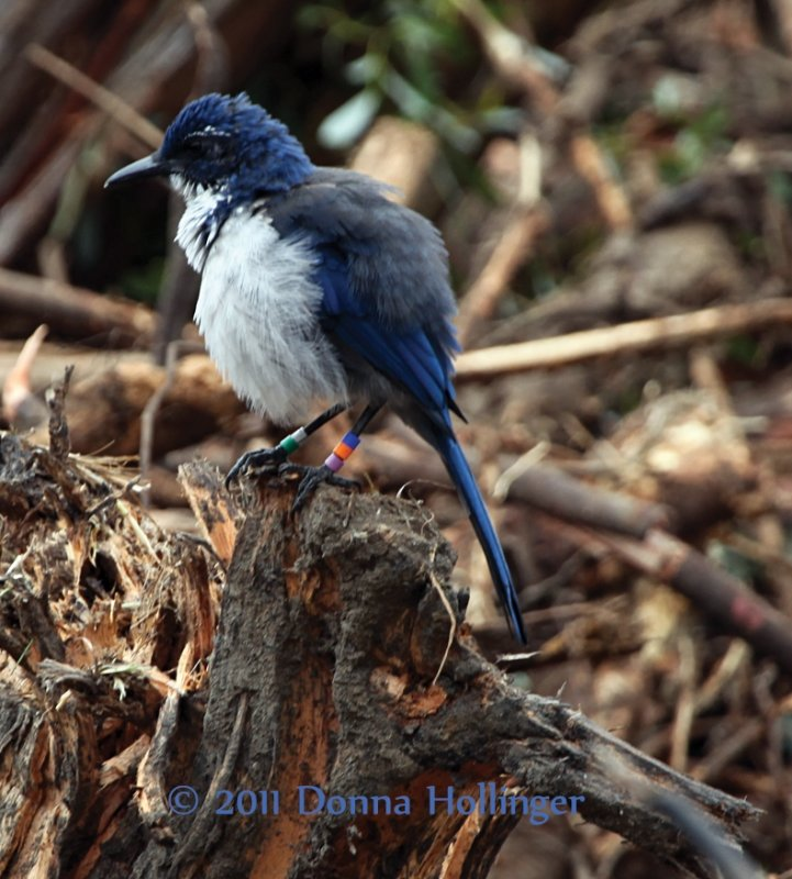 Island Scrub Jay Fluffed Out and Banded