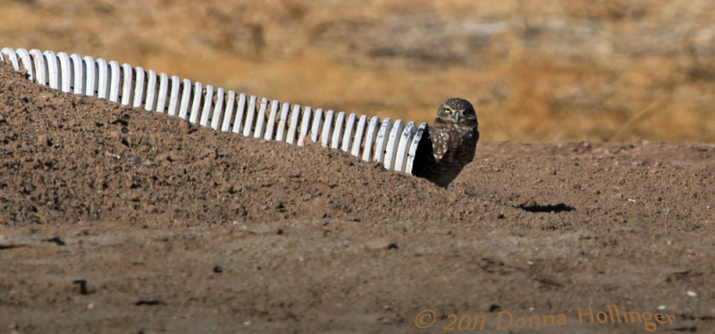 Burrowing Owl on his culvert
