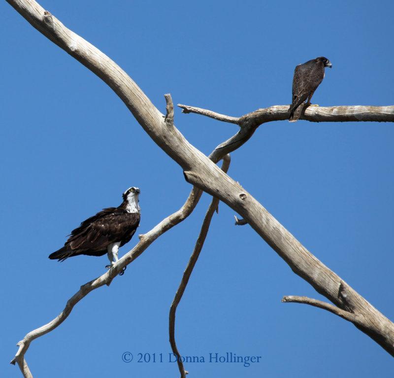 Osprey and a Falcon - Same Tree!