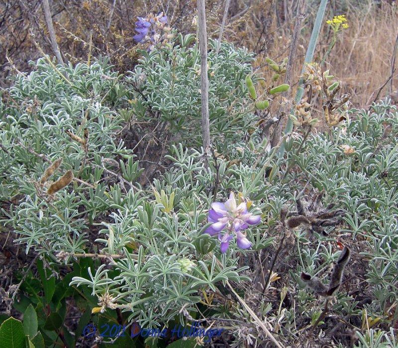 Plants on the island:  Lupine