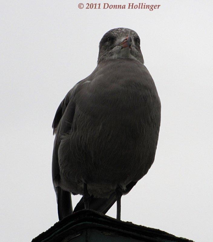 California Gull, First Winter