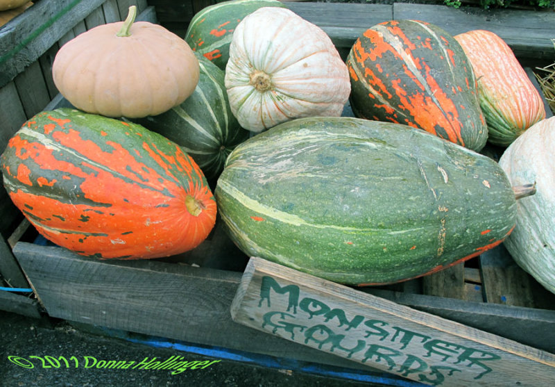 Gourds at Wilsons Farm