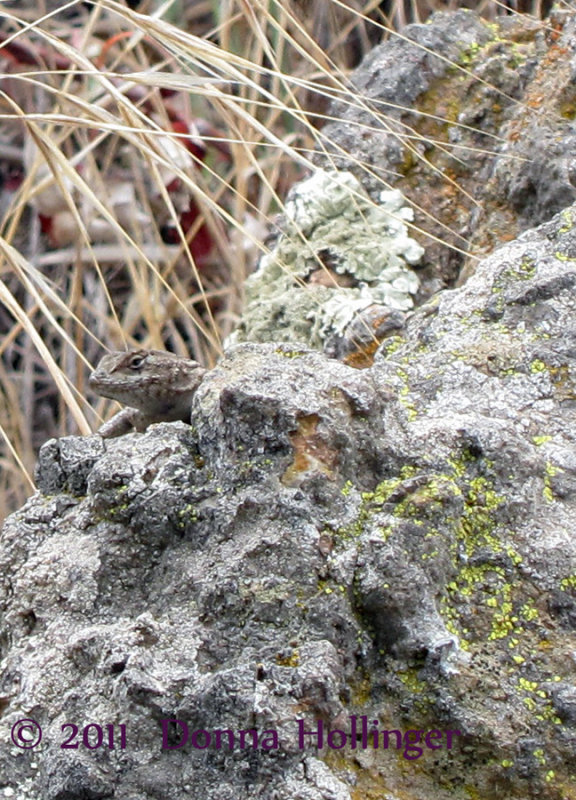 Island Fence Lizard