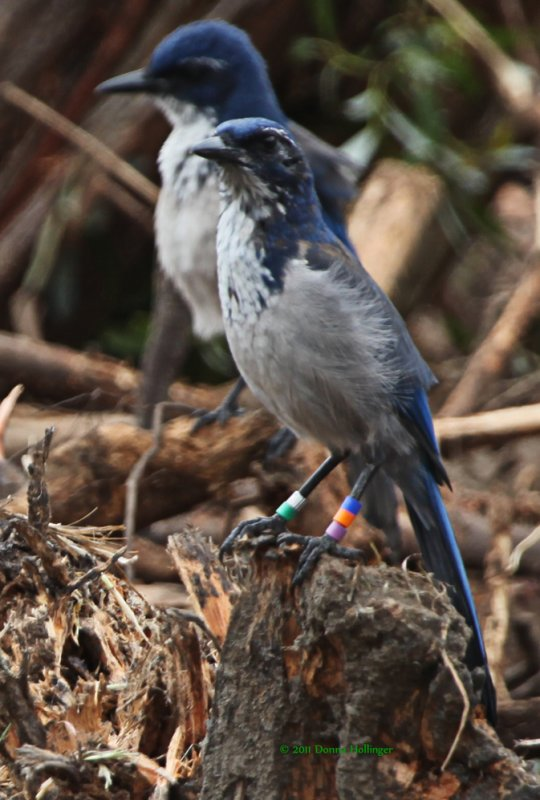 Two Scrub Jays one banded the other is not