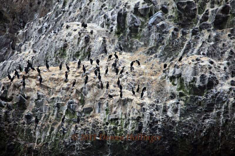 This rock held 62 Pelagic Cormorants, 3 Gulls, and one Pelican