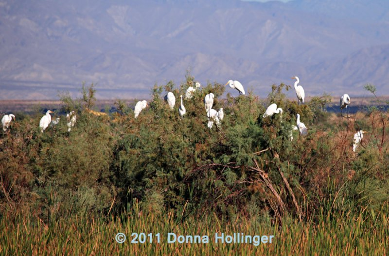 Egrets Roost