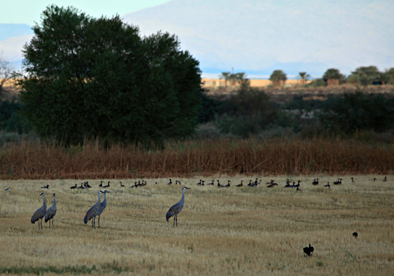 Sandhill Cranes in Breeding Plumage