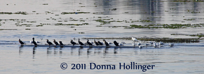 On The Nile, Cormorants, Avocets, Ducks