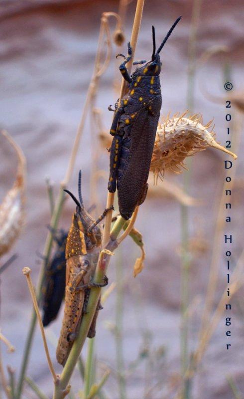 Two Locusts on Milkweed