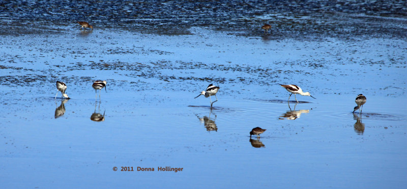 Line of Avocets, 3 Sandpipers