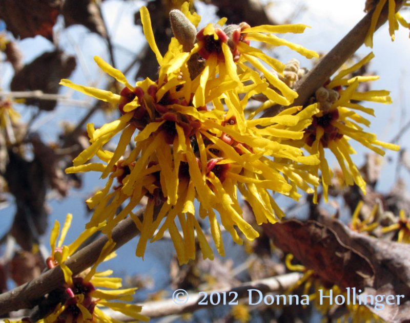 Witchhazel.flowers.