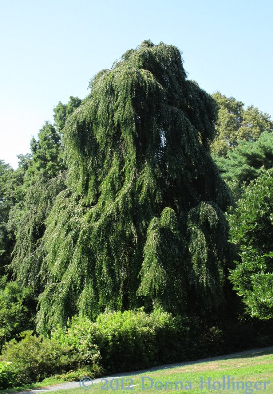 Weeping Willow At Willow Pond
