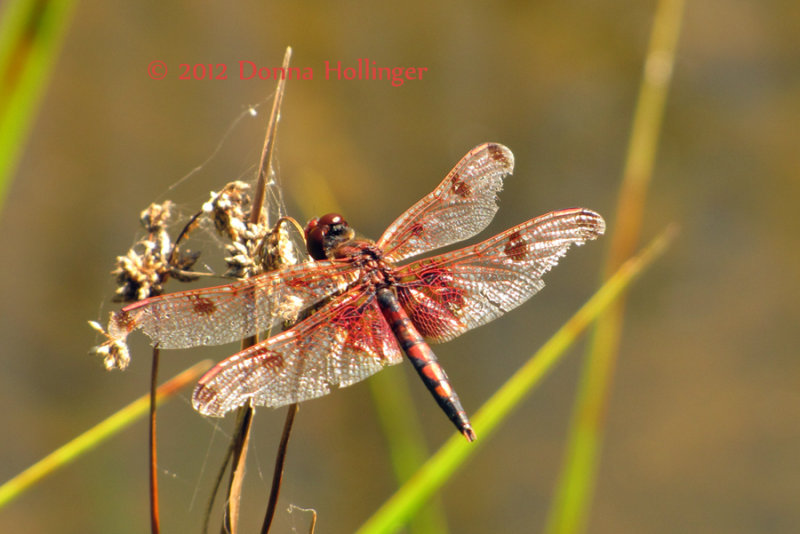 Beautiful but Beat up Dragonfly