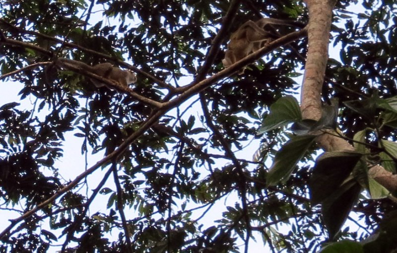Capuchins (monkeys) in the tree tops