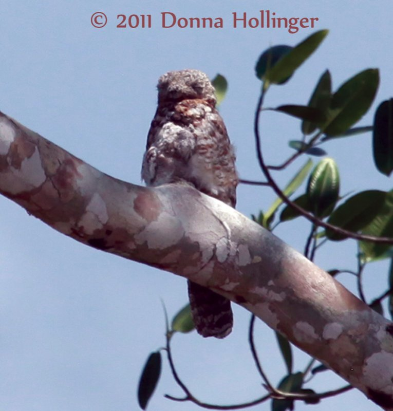 Nyctibius grandis (Great Potoo)