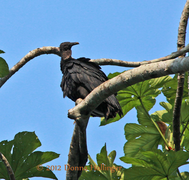 Young Turkey Vulture