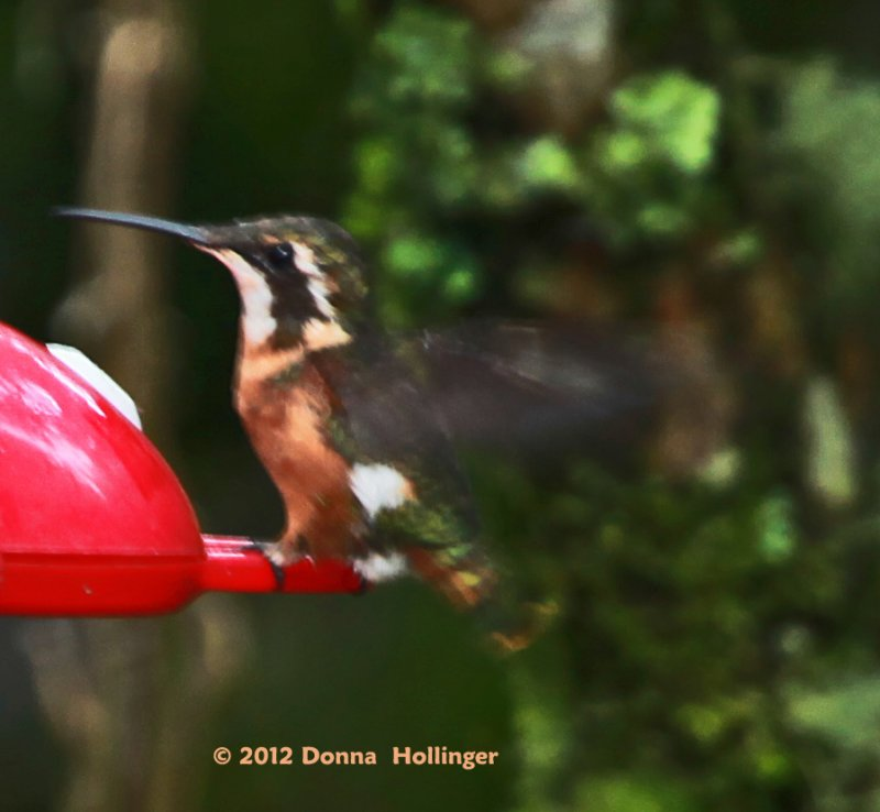 Female Purple-throated Woodstar