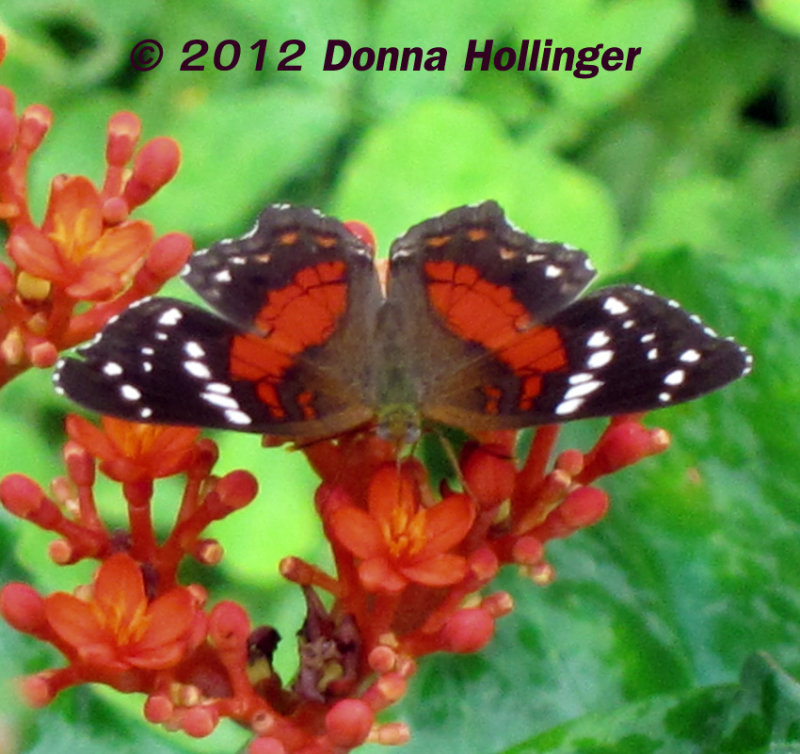 Red Peacock (Anartia amathea)