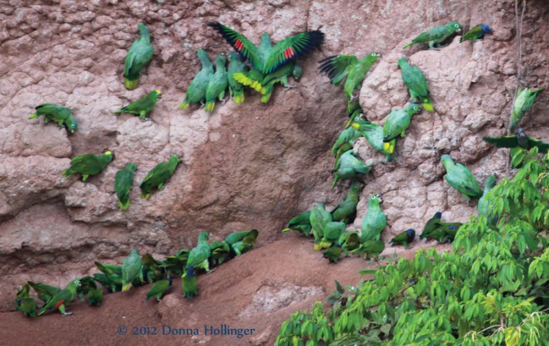 Yellow Crowned Amazon Parrots