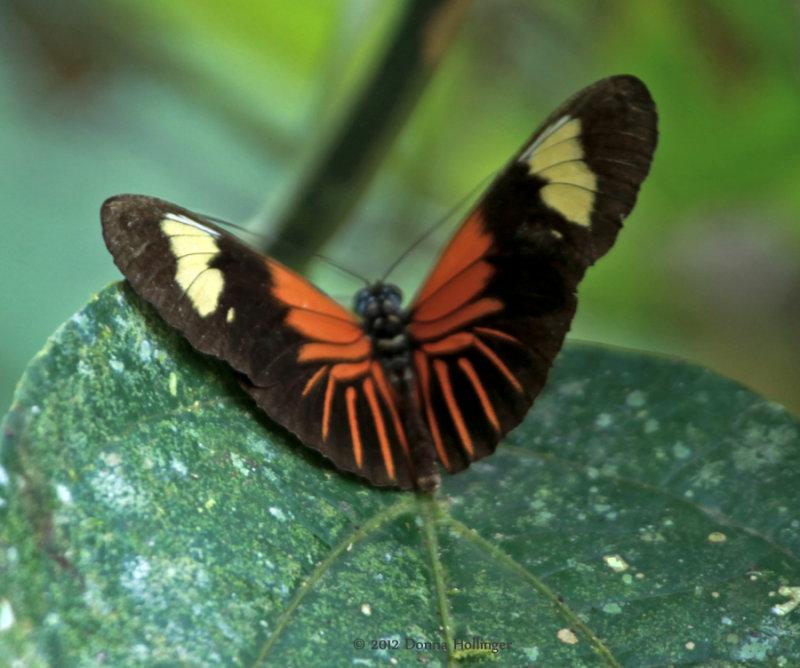 Heliconius erato from Amazon Basin