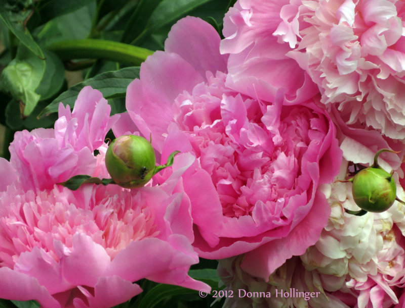 Fluffy Peonies before the rain!