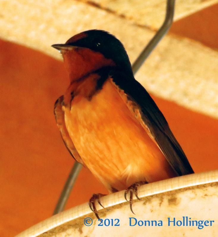 Barn Swallow at Edgewater Farm