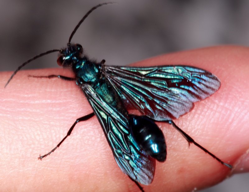 Blue Wasp on Finger