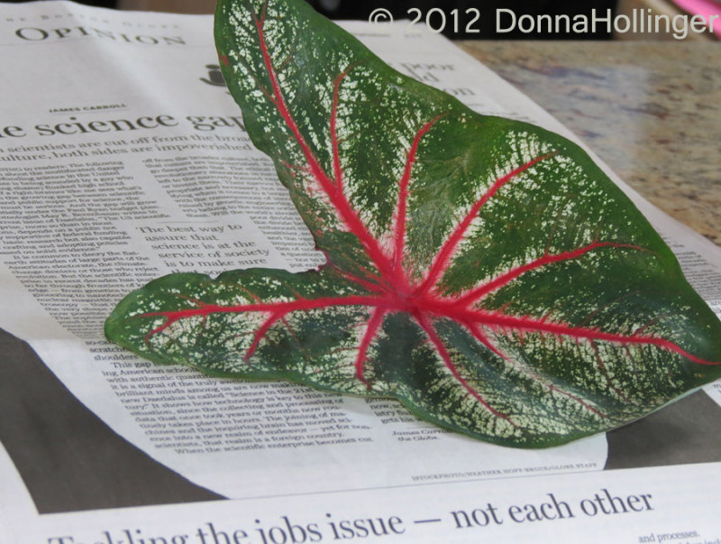 Caladium leaf and Boston Globe