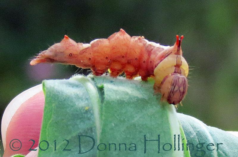 Orange Caterpillar sticking his tush out!