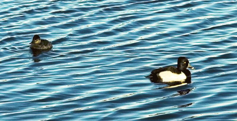 Male and female Ring Necked Ducks