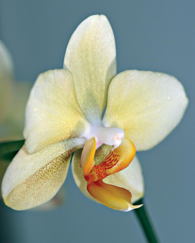 Limey orchid