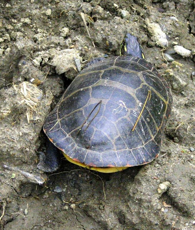 Turtle Scarred Carapace