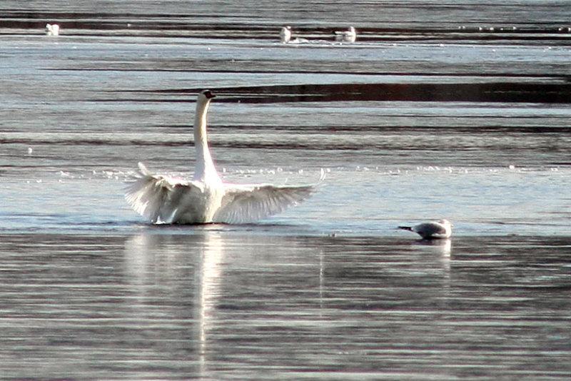 Swan Feeling Feisty