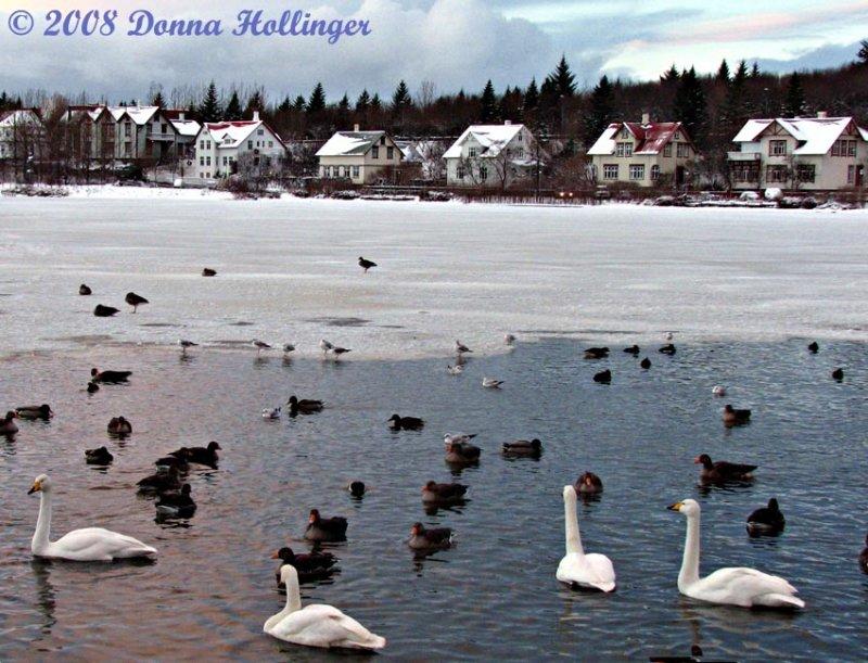 Tjorn.w.swan.gees.8548.jpg