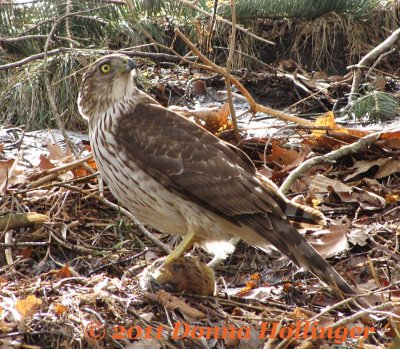 Cooper's Hawk Turning