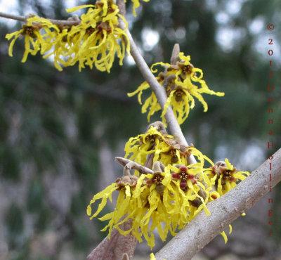 Witchhazel Flowering