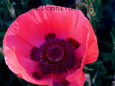Pink Panther Poppy