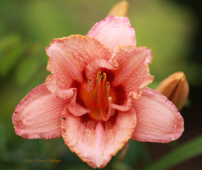 Peachy Frilled Daylilly with Bug