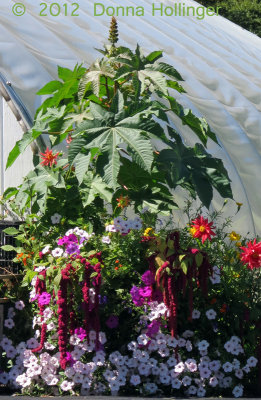 A Very large Ricin Plant, with Amaranth and Dahlias