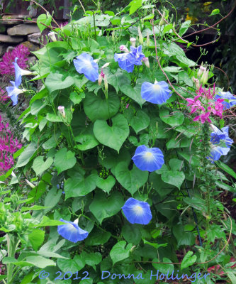 Sky Blue Morning Glories with Cleome