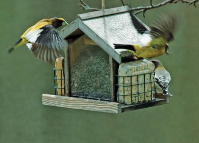 Yellow Grosbeaks Flying off to Rio