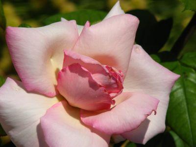 Amathus Rose