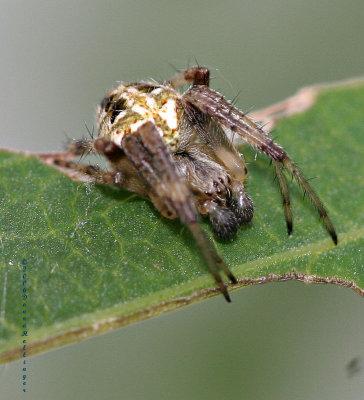Male ? spider