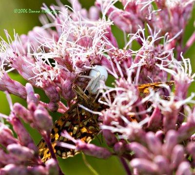 White Crab Spider poisoning Fritillary