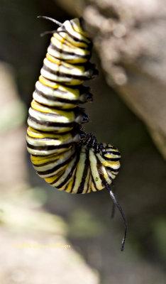 Larva Hanging Around