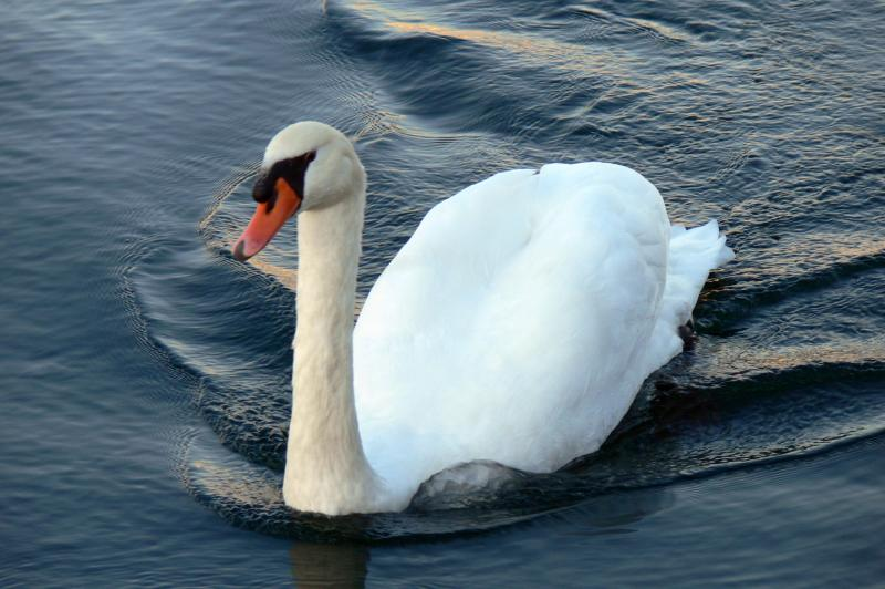 The swans of the Port Credit Marina